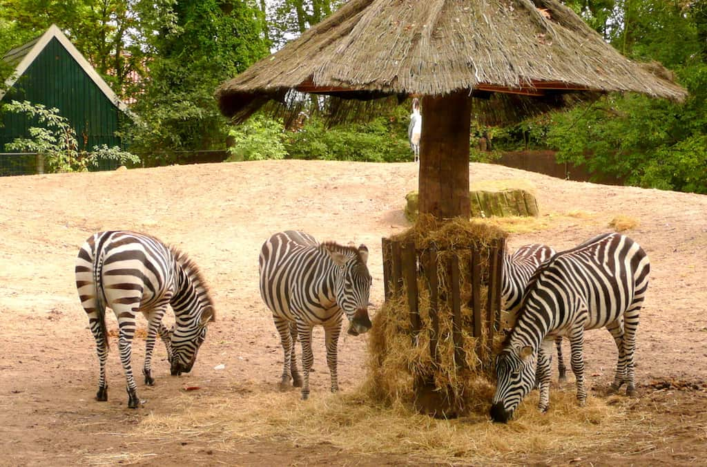 Zebras in de Tierpark van Nordhorn